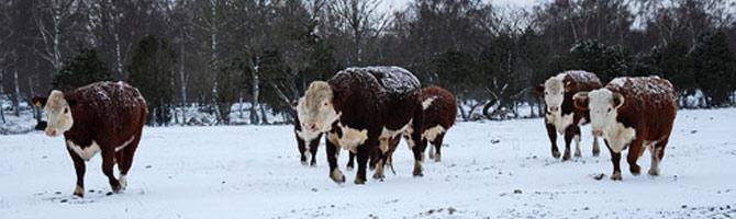 Hereford nautoja lumisessa maisemassa