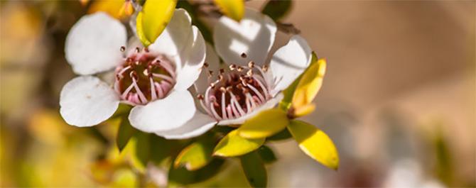 Kukka josta mehiläiset keräävät Manuka-hunajaa